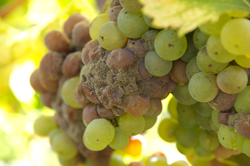 Noble Rot grapes