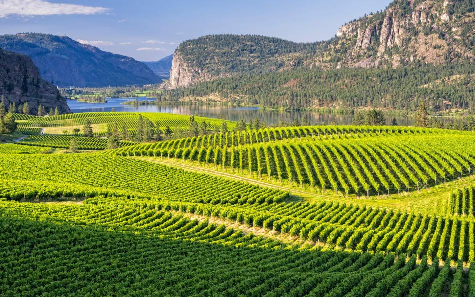 vineyard-okanagan-valley-canada